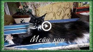 Мейн кун, моя кошка