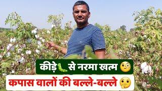 कीड़े🐛के प्रकोप से नरमा की फसल खत्म   देसी कपास के किसान फायदे मे   वैरायटी और उत्पादन #KapasKiKheti