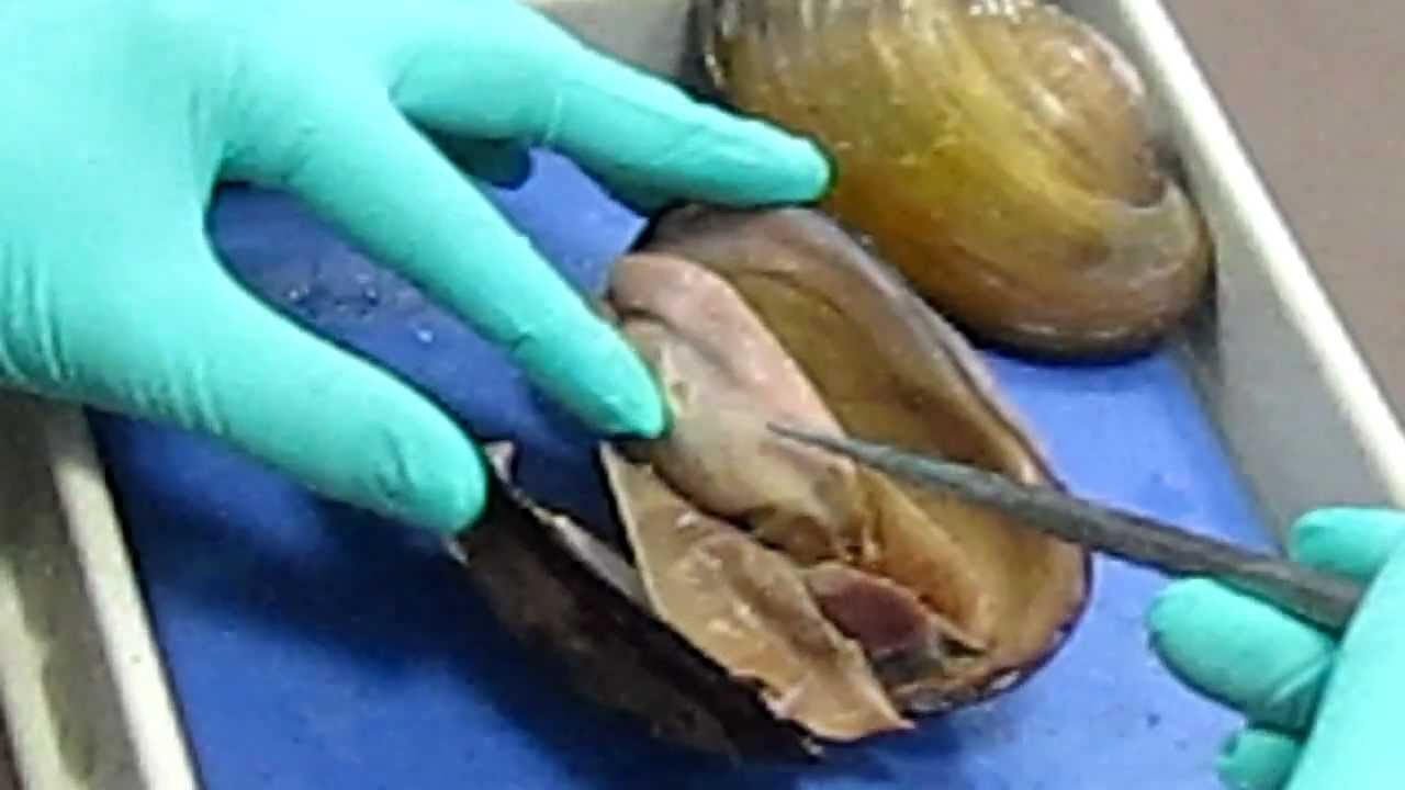 Clam Dissection - YouTube