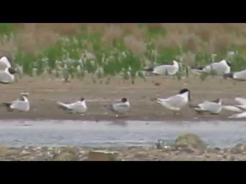 Roseate Tern, Cley - 01.07.15