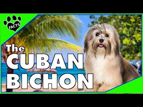 Dogs 101: Havanese - The Cuban Bichon - Animal Facts