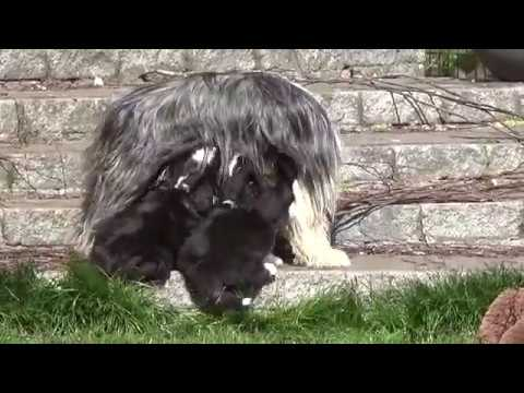 Bearded Collie puppies - 13 April 2019