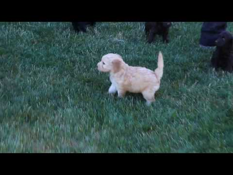 Mini Labradoodle Puppies for Sale!!!