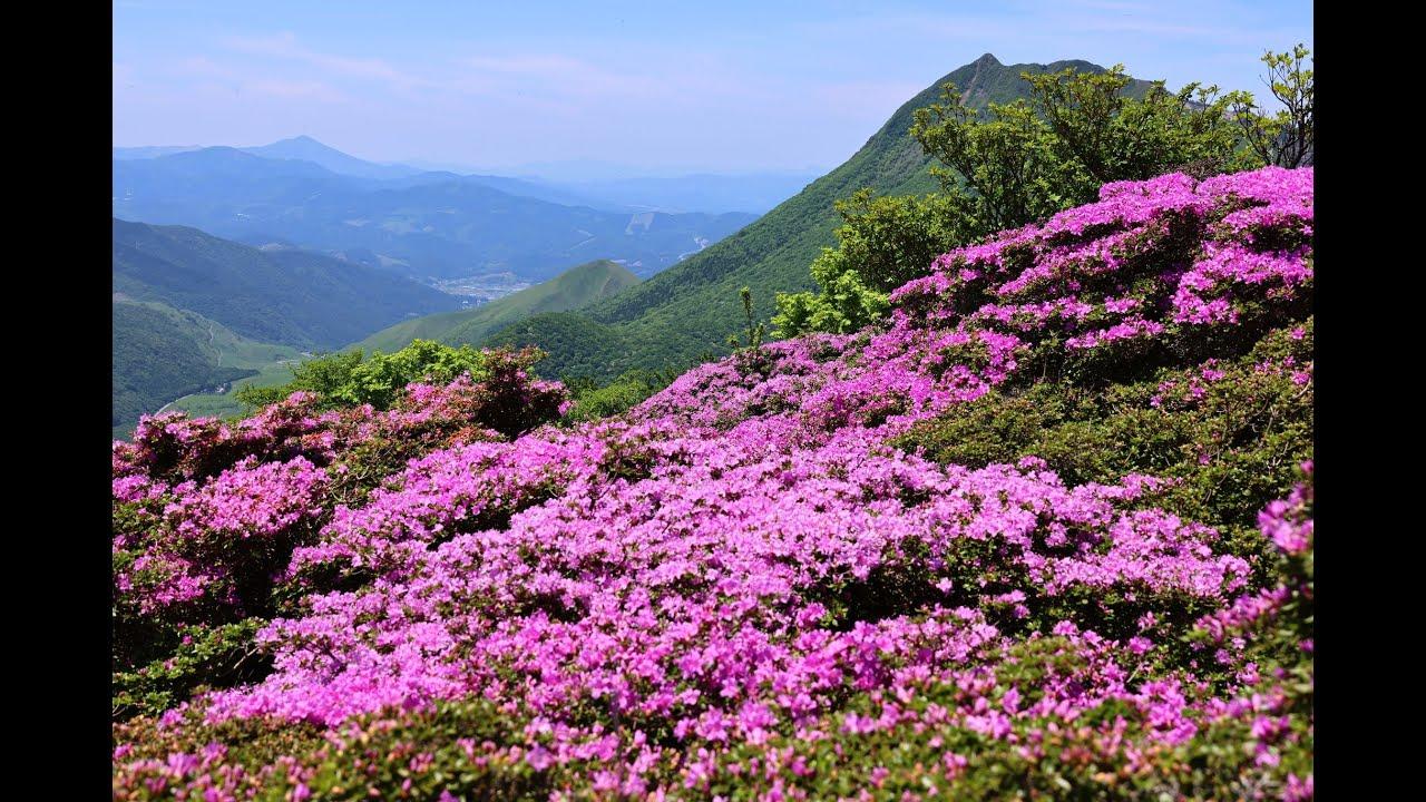 JG☆☆☆8K HDR 大分 別府 鶴見岳のミヤマキリシマ Oita, Beppu Tsurumidake Miyamakirishima Flower Season