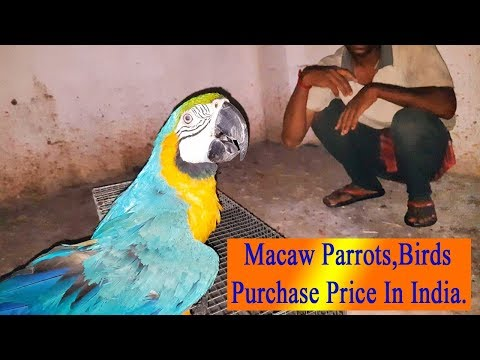 Blue and Gold Macaw Parrots Market Price / Bird Parrot Buy - Purchase and Price