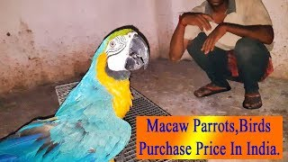 Blue and Gold Macaw Parrots Ma…