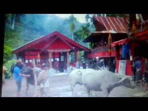 Upcara Rambu Solok..pemotongan Kerbau..merupakan Adat Istiadat Orang Toraja..