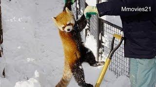 飼育員さんについていくレッサーパンダ~Red Pandas followed close behind the Keeper