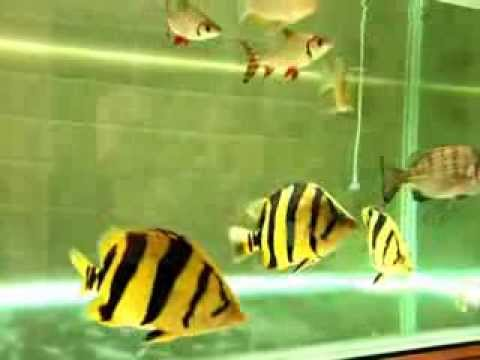 how to breed siamese tiger fish