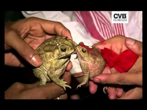 VILLAGERS MARRY OFF FROGS TO APPEASE RAIN GOD