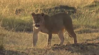 The making of safariLIVE migration series 2017 thumbnail