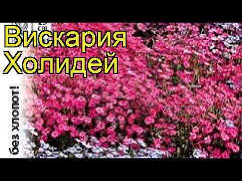 Вискария обыкновенная Холидей. Краткий обзор, описание характеристик viscaria oculata