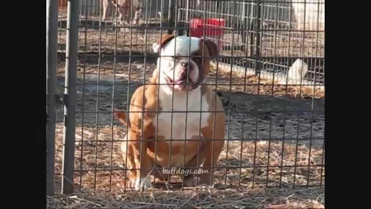 Bully Hybrid American Bulldog Buffdogs Rocko0001wmv Youtube