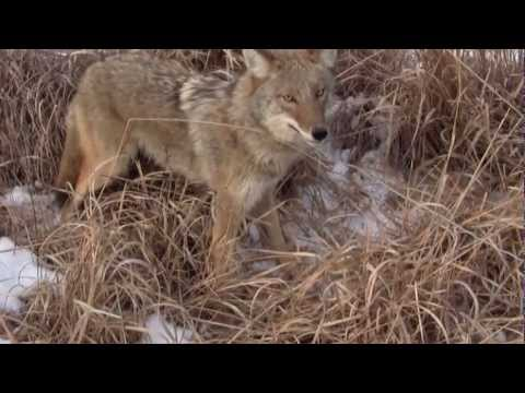 Missouri cable restraint coyote checks with my daughter