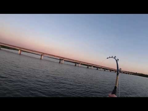 Big Tiger Shark Off Palmerston Boat Ramp - Barramundi And Stingray