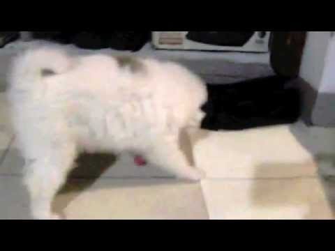 Funny Dog Japanese Spitz Cross Shih Tzu Puppy Playing