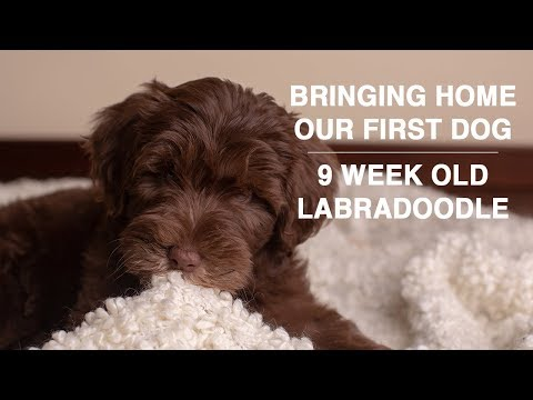 Bringing Home Our New Puppy | 9 Week Old Labradoodle Puppy