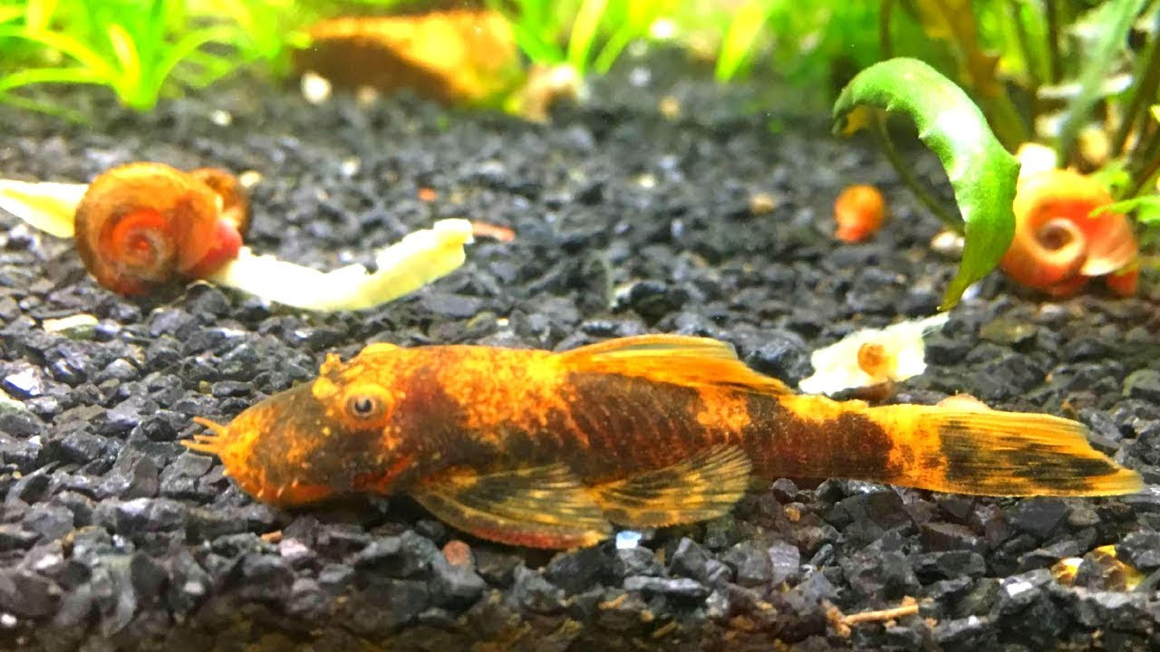 How To Keep And Breed Bristlenose Pleco Care Guide Youtube
