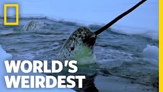 Repeat youtube video Narwhals | World's Weirdest