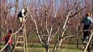 Şeftali Yetiştiriciliği - Şeftali Ağacının Budanması 7. Bölüm