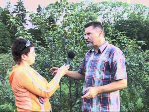 Slyvų veislės versliniam sodui - YouTube