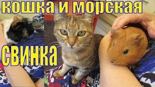 Кошка и морская свинка/дружба животных/Дружат или нет кошка и свинка/Елена и зверята