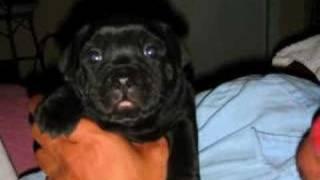Yodas Babies  786-267-8448 1 Pup Left