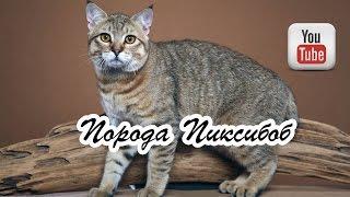 Порода кошек Пиксибоб