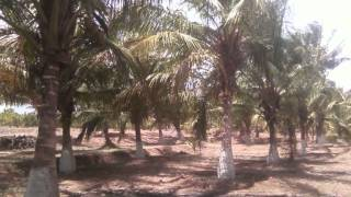 9.5 ACRES COCONUT & MANGO FARM FOR IMMEDIATE SALE