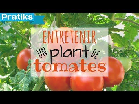 Tailler l 39 aubergine doovi - Tailler plant de tomate ...