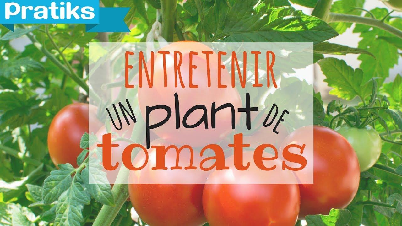 comment entretenir son plant de tomates youtube. Black Bedroom Furniture Sets. Home Design Ideas