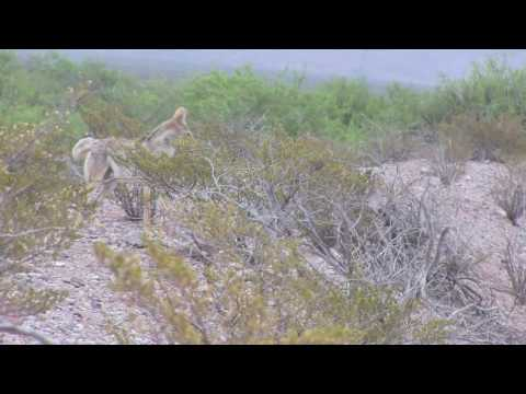 Arizona coyote calling