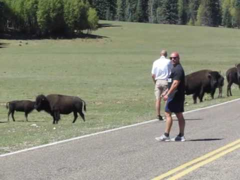 Bison Crossing.....Grand Canyon.