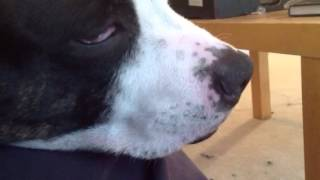 Dublin - Staffordshire Bull Terrier Sleeping Eye Twitch