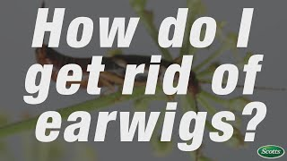 How to get rid of earwigs| Scotts