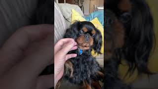 English Toy Spaniel eats his owner