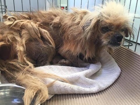 Dog abandoned, matted and full of ticks gets a new life - Combo
