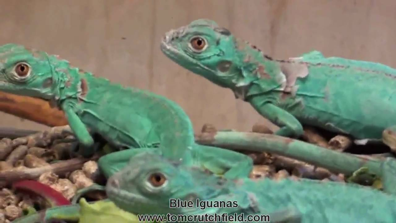 Blue Iguanas At Tom Crutchfields Farm