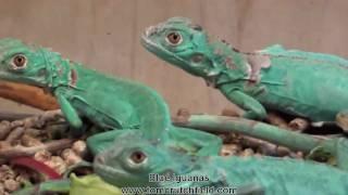 Video Blue Iguanas at Tom Crutchfield's Farm download MP3, 3GP, MP4, WEBM, AVI, FLV Januari 2018