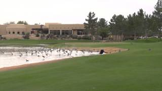 Dog Chases Geese From Golf Course Fairway