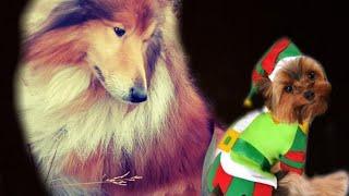 Рич и Снупи #собаки #колли #йорк #зима #Овчарка