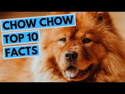 Chow Chow - TOP 10 Interesting Facts