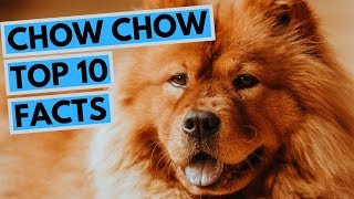 Chow Chow  TOP 10 Interesting Facts