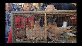 لقاءات سوق #جمهورية_المحله_الكبري_للحمام لا تنتهي Egyptian pigeon's market 2019