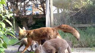 Lovely vixen feeding and grooming her cute cubs