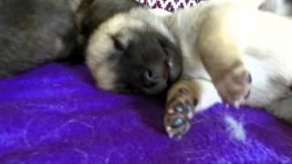 This is a video of Kishu Ken (紀州犬) Shizuka's 2nd litter at 19 da...