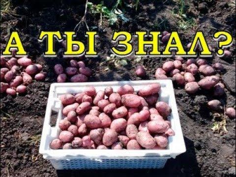Когда убирать картофель? Признаки готовости урожая   выращивать   картофеля   картофель   вырастить   хороший   урожая   урожай   уборка   картоф   сбор