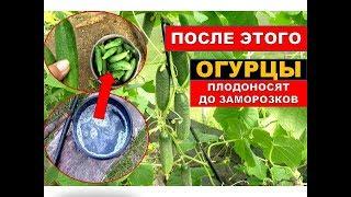 Огурцы Плодоносят до Морозов! Секретная Подкормка огурцов в августе. Уход за огурцами осенью