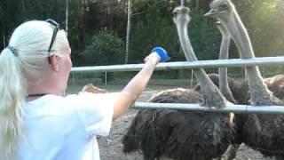 Safari/Ostrich safari/ Struts safari Strutsfarm