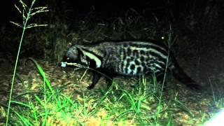 African Civet (Kruger National Park)